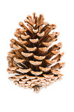 Cedar pine cone on white. Cedar pine cone on white background Royalty Free Stock Photos
