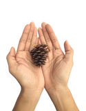 Cedar pine cone on woman's hands isolated on white Stock Photo