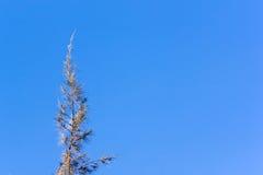 Cedar pine tree crest Stock Images
