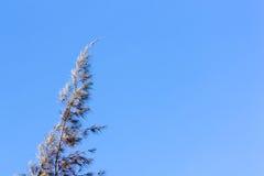 Cedar pine tree crest Royalty Free Stock Photo
