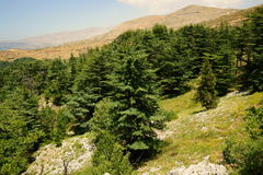 Cedar Reserve, Tannourine, Lebanon. Cedar Natural Reserve of Tannourine, located in North Lebanon, Batroun district, Lebanon Royalty Free Stock Photography