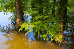 Cedar in the  river Stock Photo