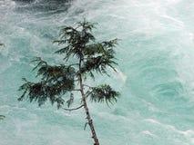 Cedar Sapling Over River. Cedar sapling growing on bank of rushing McKenzie River in Oregon stock images