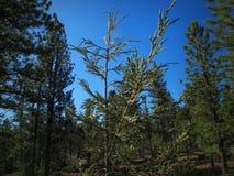Cedar Sapling Surrounded dai pini di una foresta della montagna Fotografie Stock