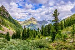 Cedar Siberian pines in mountain taiga. East Sayan. Buryatia. Russia Royalty Free Stock Photo