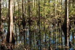 Cedar Swamp i Florida Arkivfoto