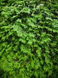 Cedar texture Stock Photography