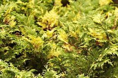 Cedar thuja bush branch leaves background. Fir green yellow color Royalty Free Stock Images