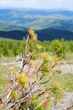 Cedar on the top of the pass Royalty Free Stock Images
