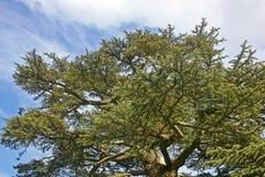 Cedar tree Stock Image