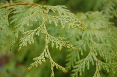 Cedar Tree. Taken in Port Townsend WA Royalty Free Stock Images