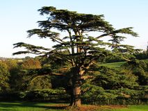 Cedar Tree. Majestic cedar tree in private grounds with rolling countryside beyond royalty free stock photos