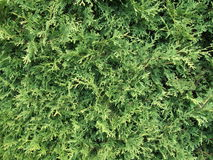 Cedar tree stock image