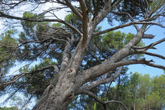 Cedar tree Stock Photos
