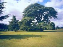 Cedar Tree Royalty-vrije Stock Fotografie