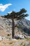 Cedar Tree Lizenzfreie Stockbilder