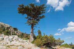 Cedar Tree Stockbilder