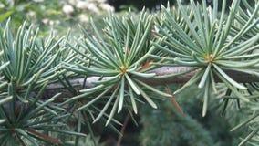 Cedar tree Royalty Free Stock Photos