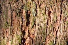 Cedar Tree Bark y musgo Imágenes de archivo libres de regalías