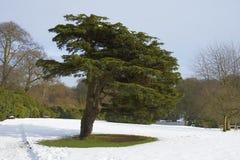 Cedar Tree (Cedrus libani). A Lebanese Cedar Tree in a public park in the snow Royalty Free Stock Image