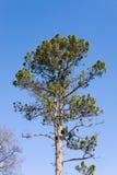Cedar tree close up Stock Photography
