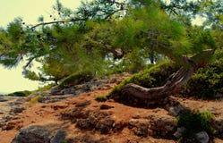 Cedar tree on a coast royalty free stock photos