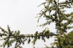 Cedar Tree Cone Imágenes de archivo libres de regalías