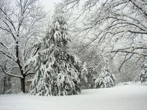 Cedar Tree en invierno Fotografía de archivo