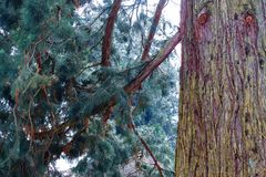 Cedar tree on island of Mainau. Cedar tree on flower island of Mainau royalty free stock images