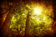 Cedar tree forest Stock Images
