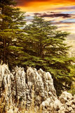 Cedar tree forest Royalty Free Stock Photos