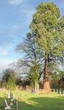 Cedar tree Stock Images