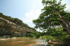 Cedar Tree on Guadalupe River Royalty Free Stock Photo