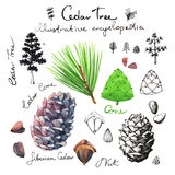 Cedar tree illustrative clip art Royalty Free Stock Images