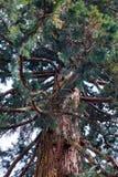Cedar tree on island of Mainau. Cedar tree on flower island of Mainau stock image