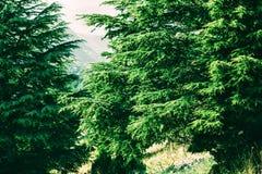 Cedar tree in Lebanon. Cedar is Lebanon nature symbol royalty free stock image