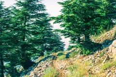 Cedar tree in Lebanon. Cedar is Lebanon nature symbol stock photography