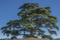Cedar tree of Lebanon. A secular tree, symbol of la Morra. Cedar tree of Lebanon of La Morra, Cuneo, Piedmont stock photography