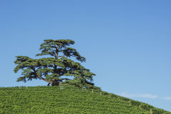 Cedar tree of Lebanon. A secular tree, symbol of la Morra Royalty Free Stock Photo