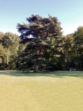 Cedar Tree. A majestic Cedar tree in a park in Rome, Italy royalty free stock photos