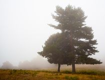 Cedar tree in the mist. On a high mountain plateau in the mediterranean region a lonely cedar tree appears briefly in the moving dense fog of a late summer day stock photos