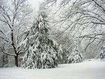 Cedar Tree nell'inverno Fotografia Stock