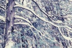 Cedar Tree nevado infrarrojo Foto de archivo libre de regalías