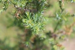 Cedar Tree, piccolo, fondo vago immagini stock