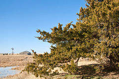 Cedar Tree on a Prairie Ranch. Cedar Tree beside a pond with a barn and cattle in the background under a clear blue sky Royalty Free Stock Images