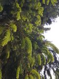 Cedar tree. Pudifull cedar tree fir-tree fir royalty free stock images