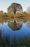 Cedar Tree reflected in lake, Knightly Way. Stock Photos