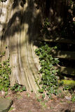 Cedar tree, split log fence with ivy growing Royalty Free Stock Images