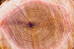 Cedar tree stump Stock Photo