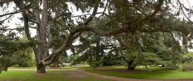 Cedar trees at a crossroad Royalty Free Stock Images